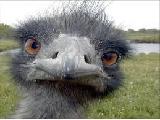 ostrich-babysitter