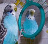 budgie-mirror