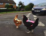 Chicken_hi_vis_jacket_car