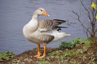 Greylag-Goose